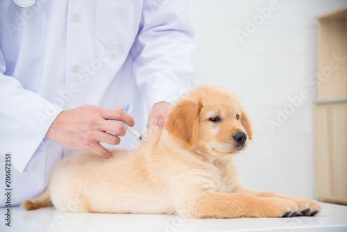 Hands of veterinarian giving injection to little golden retriever in vet clinic