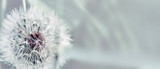 Dandelion close up on natural background. Dandelion flower on summer meadow  - 206672584