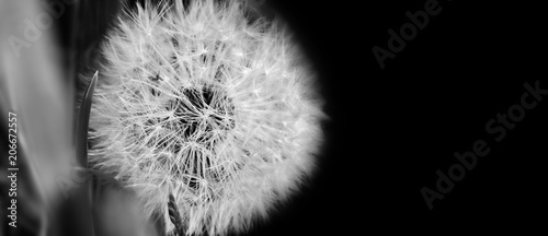 Black and white  dandelion close up on natural background. Dandelion flower on summer meadow  - 206672557