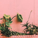 Plant on pink concept. Tropical Plant in urban locations - 206679940