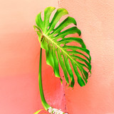 Plant on pink concept. Palm in urban locations. Minimal fashion mood - 206680110