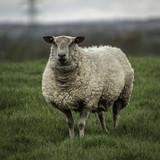 Sheep - 206686734