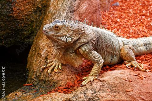 Fototapeta Iguane
