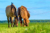two horses grazing on pasture