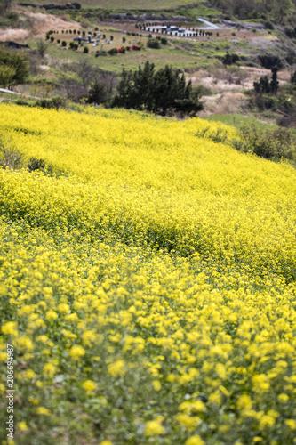 Plexiglas Geel Rapeseed flowers on the field
