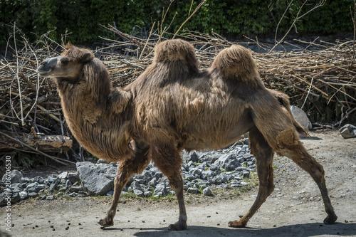 Fotobehang Kameel Kamel 2
