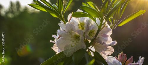 Aluminium Azalea Pink flower of azaleas, close-up, can see the tips of stamens