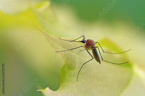 Mosquito resting on the grass.