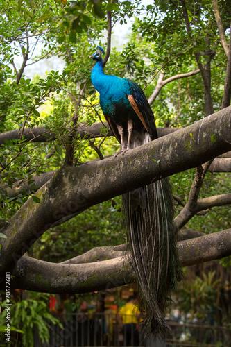 Aluminium Pauw Peacock in the bird park