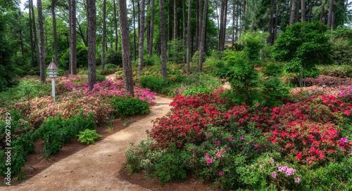 Aluminium Azalea Spring azalea and flower garden in Raleigh, North Carolina