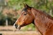 Profile of Bay Arabian Horse Head