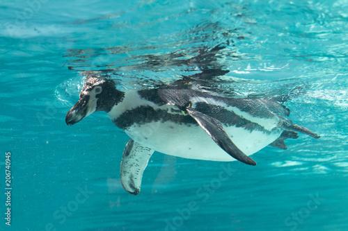 Aluminium Dolfijn Swimming penguin in clean water