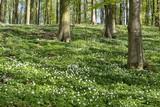 Wood anemones in spring - 206741354