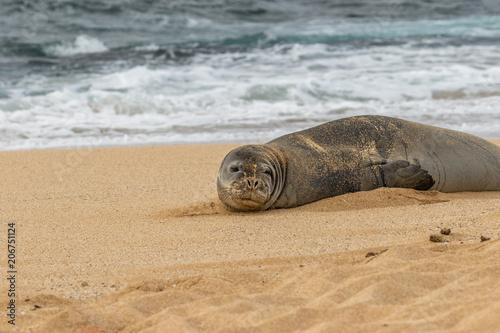 Aluminium Schildpad Hawaiian Monk Seal on a Maui Beach