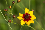 Pineapple Pie Coreopsis Bloom and Insect with Soft Green Background - 206755508