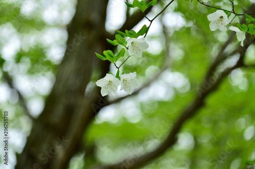 Aluminium Azalea ひっそりと咲くゴヨウツツジの花