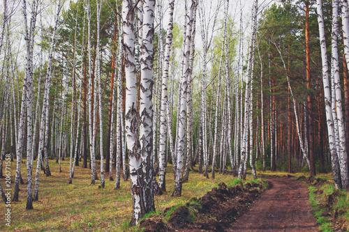 rural road in birch forest
