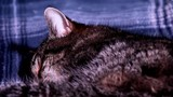 Close Up of a Black Tabby Cat Sleeping, Showing the Head in Focus and Stomach moving Up and Down As She is Breathing - 206774313