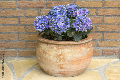 Fotobehang Hydrangea Hortensia flowers