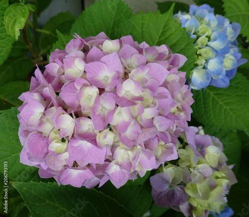 Fotobehang Hydrangea 紫陽花