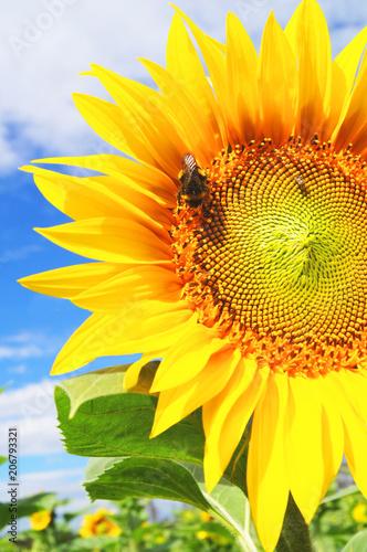 Plexiglas Geel Bumblebee gathers pollen from sunflower on sunflower field