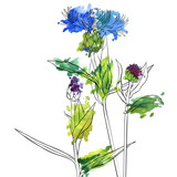 vector drawing flowers of cornflower