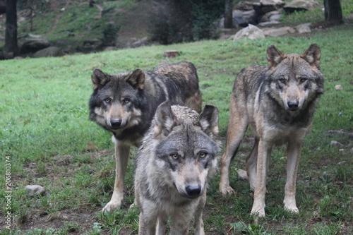 Aluminium Wolf meute loups