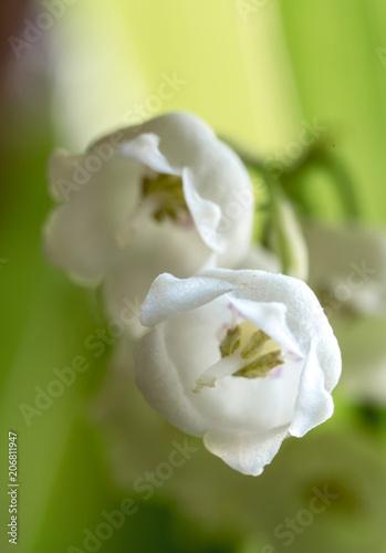 Fotobehang Lelietjes van dalen Buds of a lily of the valley