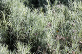 bushes of aromatic lavender plants, perennial environment - 206812706