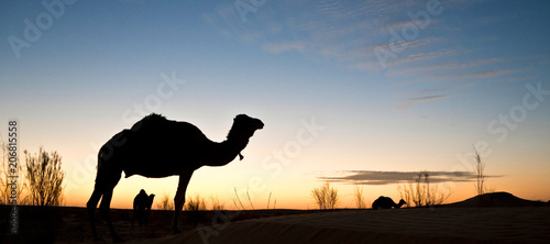 Canvas Kameel Silhouette of a camel at sunset in the desert of Sahara, South Tunisia
