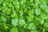 coriander planted in vegetable plots - 206816124