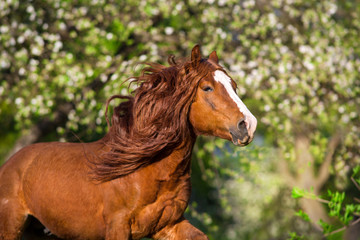 Red draft horse with long mane portrait in motion. Horse in spring blossom