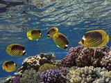 Raccoon butterflyfishes (chaetodon fasciatus) - 206848126