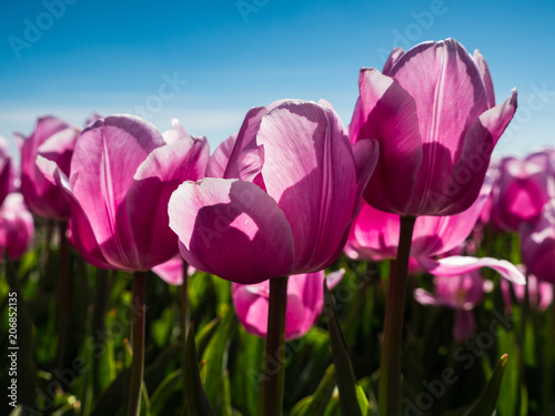 Fotobehang Tulpen Backlit pink tulips in field
