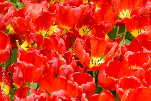 Fotobehang Tulpen Red tulip at spring on earth