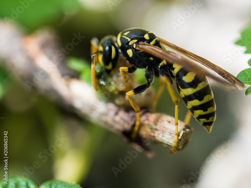 Foto Murales Wasp Feeding On Insect