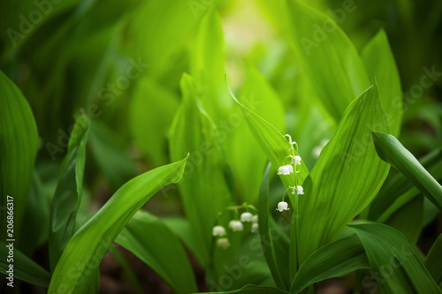 Fotobehang Lelietjes van dalen Leaves and flowers of lily-of-the-valley in the garden