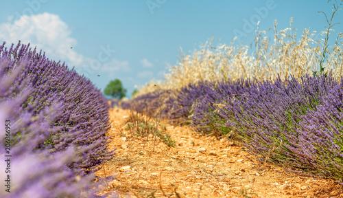 Fotobehang Lavendel Lavender meadows panorama in summer season