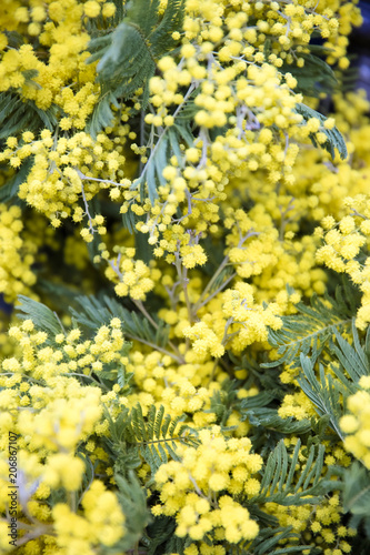Mimosa spring flowers tree branch