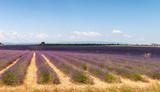 Lavender meadows panorama in summer season - 206867763