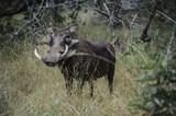 Phacochère dans une réserve en Afrique du Sud - 206868331