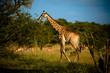 Girafe dans une réserve en Afrique du Sud