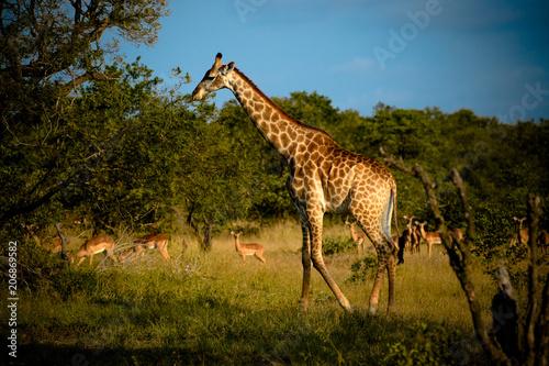 Poster Girafe dans une réserve en Afrique du Sud