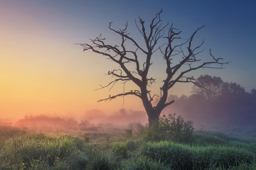Landscape of wild nature with old tree in misty sunlight in early morning at dawn. Perfect nature at sunrise. Majestic large dry tree on meadow grass on warm summer blue clear sky background