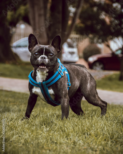 Fotobehang Franse bulldog a french bulldog dog standing in the grass of a park