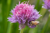Purple spring onions flowers being enjoyed by the bees - 206876380