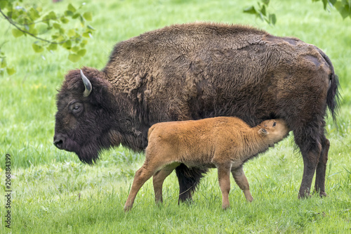 Fotobehang Bison Cow American bison (Bison bison) feeding calf, Iowa, USA