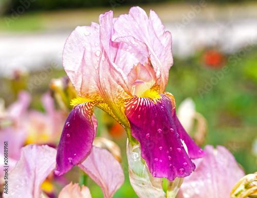 Aluminium Iris violet iris flower
