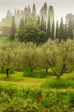 Olive grove in early morning on the backroads in Tuscany. - 206899944