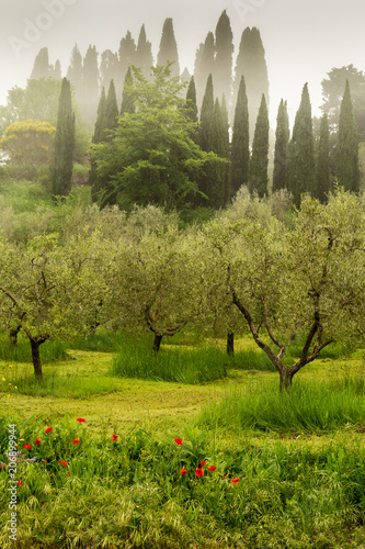 Aluminium Toscane Olive grove in early morning on the backroads in Tuscany.